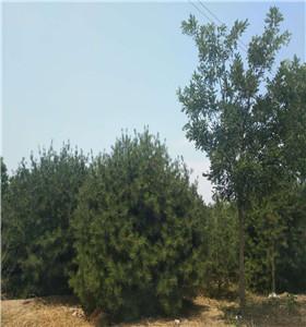 北京太阳梅树购买,盆栽榆树批发价